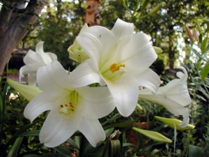easter-lillies1